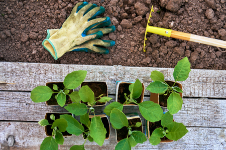 Cabbage seedlings in the paper pots on wooden boards , protective gloves and a little rake on the ground in greenhouse