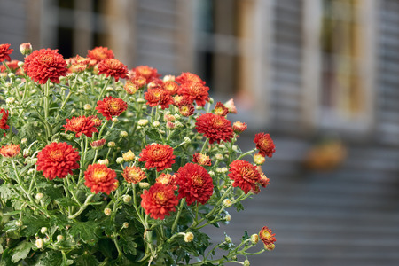 Red chrysanthemum flowers in front of windows of a country house in summer evening Stockfoto