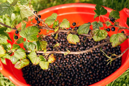 Large plastic basin full of freshly picked blackcurrant berries under a bush during harvesting Imagens