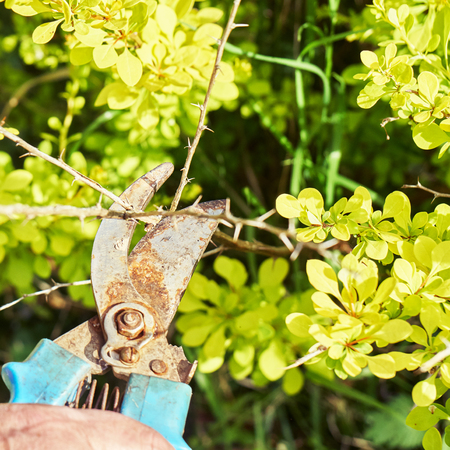 Pruning dead berberis branches with garden clippers