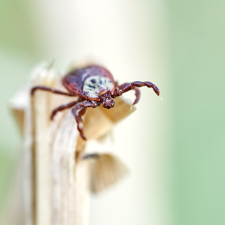 Ixodic tick sitting on the top of a dry grass and waiting for his victim. dangerous parasite spreading terrible diseases. Macro photography.