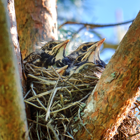 Four grown-up nestlings of a thrush sit in a nest located on the pine tree in spring Imagens