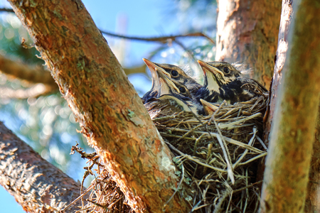 Four grown-up nestlings of a thrush sit in a nest located on the pine tree in spring Banco de Imagens
