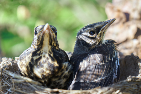Two grown-up nestlings of a thrush sit in a nest located on the pine tree in spring