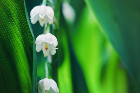 Lily of the valley flowers in early morning outdoors macro