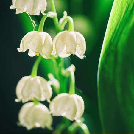 Blossoming flowers of lily of the valley in early morning outdoors macro