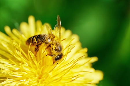 Bee covered with pollen working on the yellow dandelion in spring morning. Macro photo Stock Photo