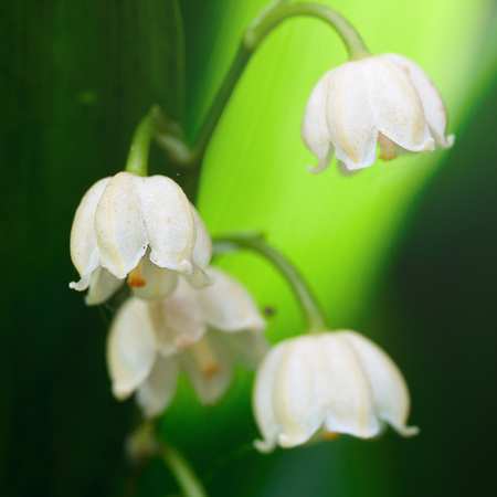 Blossoming flowers of lily of the valley outdoors illuminated by sunlight in summer garden macro photo.