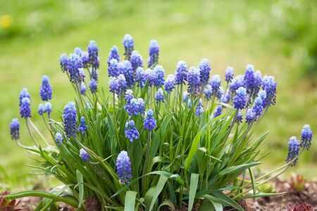 Beautiful blossoming muscari hyacinth flowers growing in the spring garden