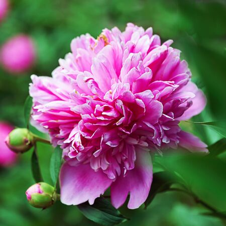 Blossoming pink peony flower in summer garden in evening