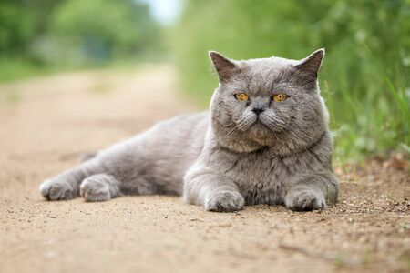 British male shorthair cat lying on the road outdoors
