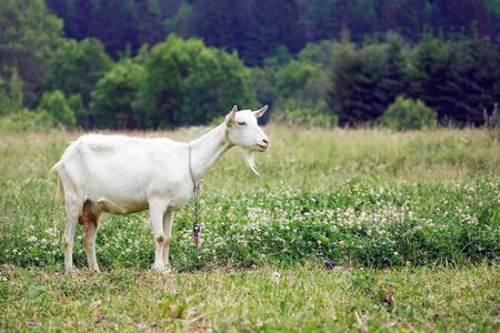 White adult goat grazing on the beautiful suumer green meadow in countryside. Agricultural farm animal feeding on village pasture.