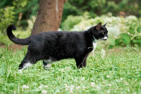 Black and white cat walking in the green summer garden