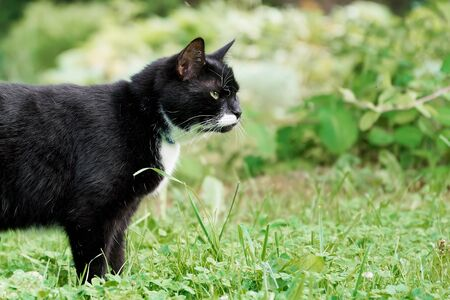 Black and white cat hunts in the green summer garden with a copy space