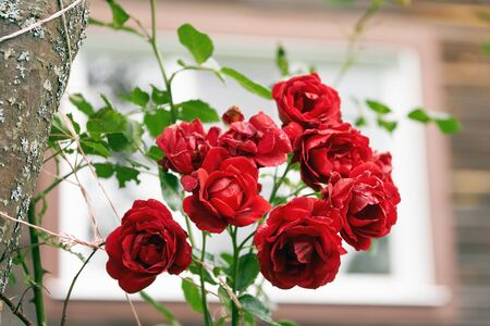 Red rose bush growing in front of a window of a country house