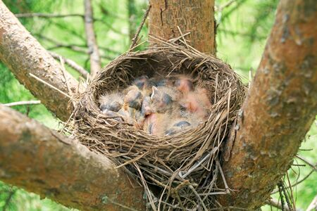 Birds nest with sleeping newborn thrush nestlings located on the branches of the pine tree