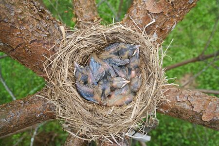 Birds nest with sleeping newborn thrush nestlings located on the branches of the pine tree. Above view