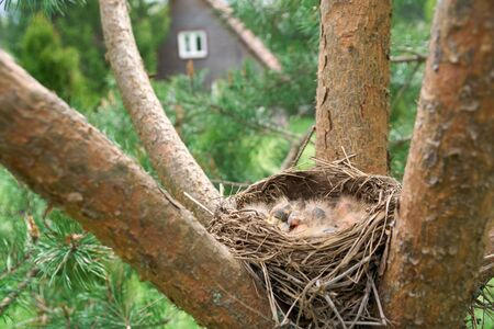 Birds nest with sleeping newborn thrush nestlings located on the branches of the pine tree with a wooden country house on the background in summer