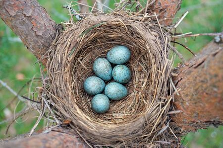 Blue eggs of a wild bird thrush lying in the nest located on the ptine tree outdoors Banco de Imagens