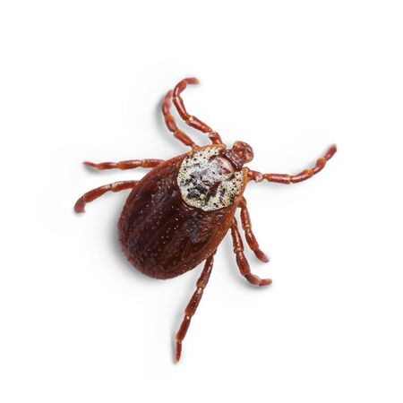 Female mite isolated on the white background with shadows. Macro photo Stock Photo