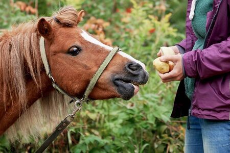 Woman feeding a funny brown pony colt with apples outdoors Stock Photo - 131723846