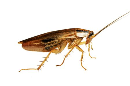 Side view of a living adult red cockroach macro isolated on the white background. A pregnant cockroach with egg. A disgusting domestic insect Zdjęcie Seryjne