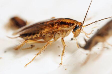 Fotografía macro de una cucaracha roja adulta viva entre las otras cucarachas. Repugnantes insectos domésticos