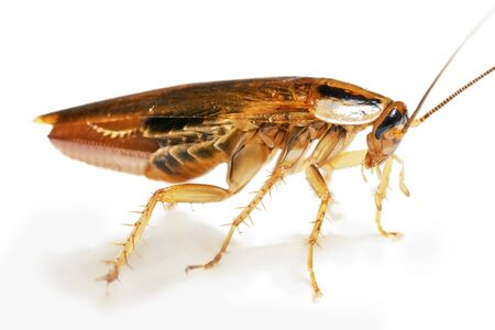 Side view of a living adult red cockroach with a broken rear paw macro isolated on the white background with shadows. A pregnant cockroach with egg. A disgusting domestic insect Stock fotó