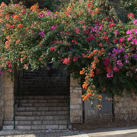 Stone steps with beautiful bougainvillea flowers in Israeli town Haifa in november Foto de archivo - 140181525
