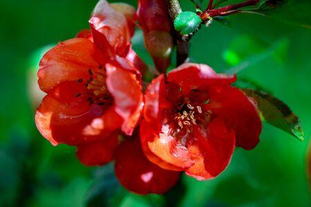Japanese quince flowers blooming in springtime macro