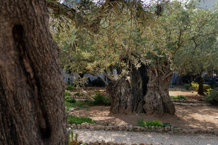 Beautiful ancient olive trees with in the Gethsemane Garden in Jerusalem, Israel.