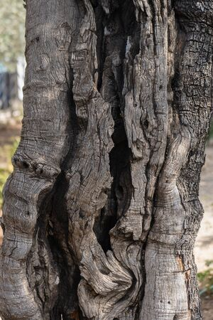 Trunk of an ancient olive tree in the Gethsemane Garden in Jerusalem, Israel. Фото со стока