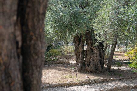 Old olive trees with in the Gethsemane Garden in Jerusalem, Israel.