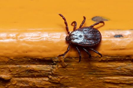 Mite crawling on a painted orange wooden surface macro