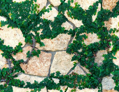 Decorative Stone wall covered by ivy green leaves seamless texture
