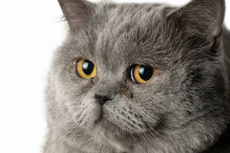 Head of a male british short hair cat close up isolated on the white background.