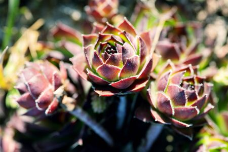 Three Sempervivum flowers growing in the garden bed lit by sun rays