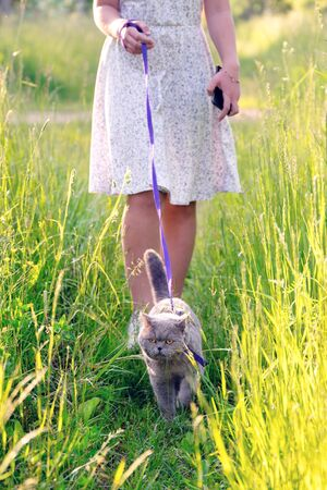British short hair male cat walks on a leash with a teen girl on green grass at countryside