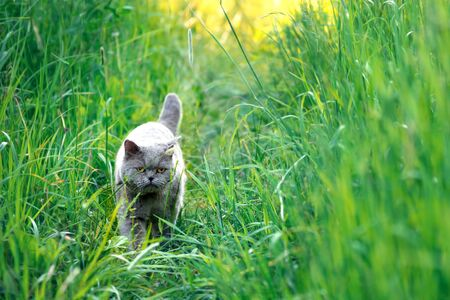 Beautiful male british short hair cat walks among the tall grass at countryside outdoors