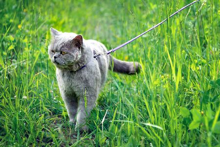 British short hair male cat with a wounded cheek walks on a leash on high green grass at countryside