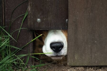 A dog pokes its snout through a hole in the fence railing to sniff out who is passing by and protect the house