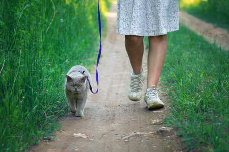 British shorthair male cat walks on a leash led by a teen girl wearing a white dress along a countryside road. 写真素材 - 150646032