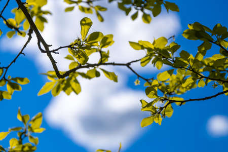 Tree leaves with white clouds on the blue sky background in spring or summer morning