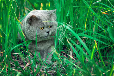 Male british shorthair cat lying in grass grass at countryside