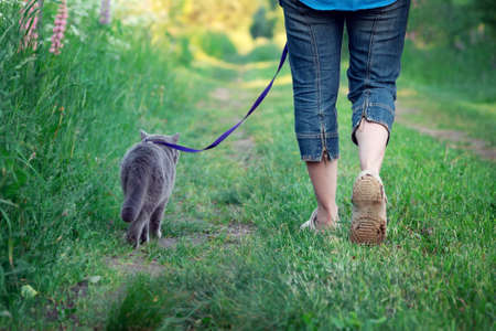 Woman walks with a british shorthair cat on a leash along a countryside road in summer Фото со стока