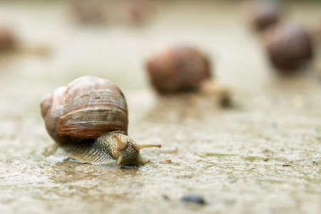 Group of grape snails greeping along a road at countryside in summer