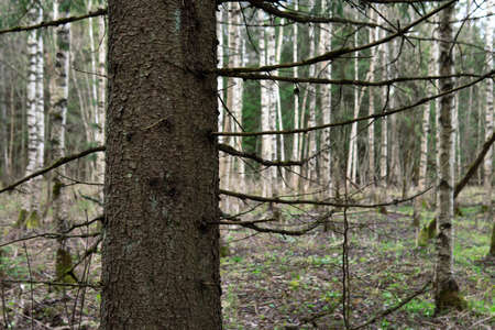 Trunk of a fir tree in the birch forest in springtime