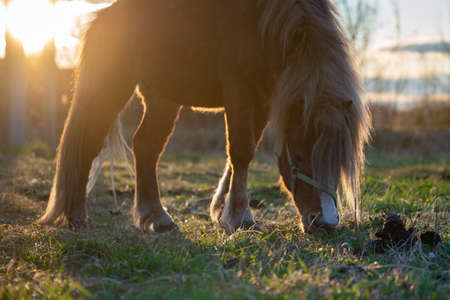 Red pony horse grazing on the green meadow in the rays of setting sun