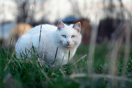 White cat sits in green grass on the meadow and warily looks at the camera