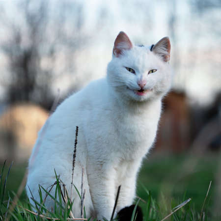 White cat meows at the camera sittting in green grass on the meadow.